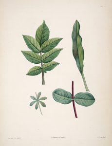 La_botanique_de_J.J._Rousseau_(Plate_51)_BHL6164747