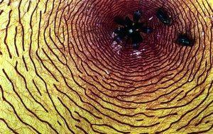 3e prix en culture m.saffroy thierry stapelia nobilis jardin botanique de deshaies guadeloupe
