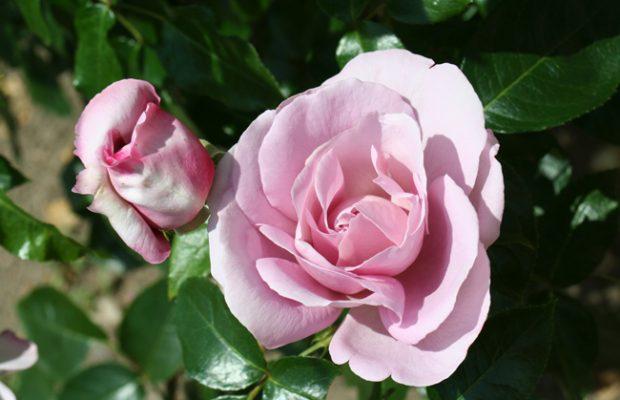 GPR_2011_Delbard_la rose du petit prince
