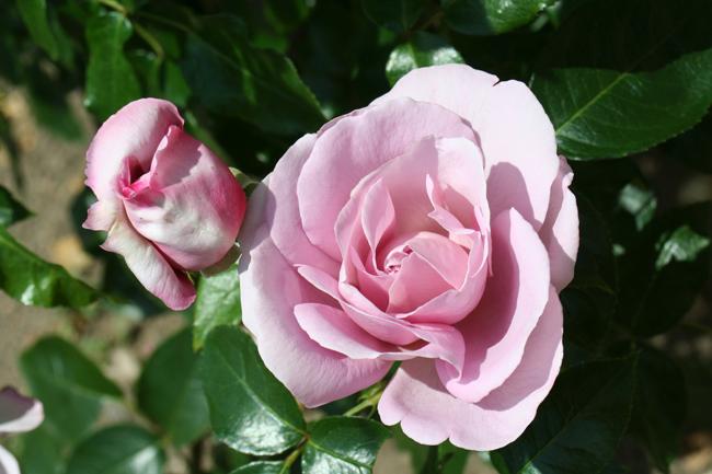 """Résultat de recherche d'images pour """"photos roses"""""""