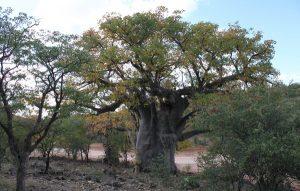 adansonia digitata joubert pass