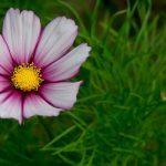 Votez pour le plus beau cosmos au Jardin des Plantes !
