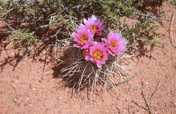 198-sclerocactus-parviflorus-ssp-parviflorus