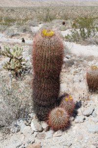 img_0723-ferocactus-cylindraceus-ssp-cylindraceus