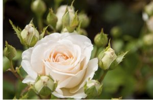 rose GRUAUD-LAROSE