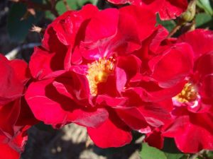 Rose GARANCE-CENTENAIRE DE LA GRANDE GUERRE-VERDUN