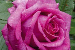 Rose La Clé de la Rose