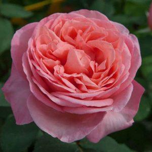 Rose Mademoiselle Meilland