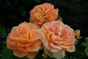 Rose SŒURS TATIN