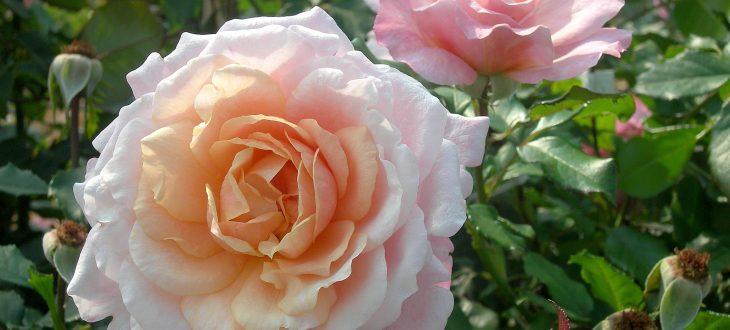 Rose pierre Hermé