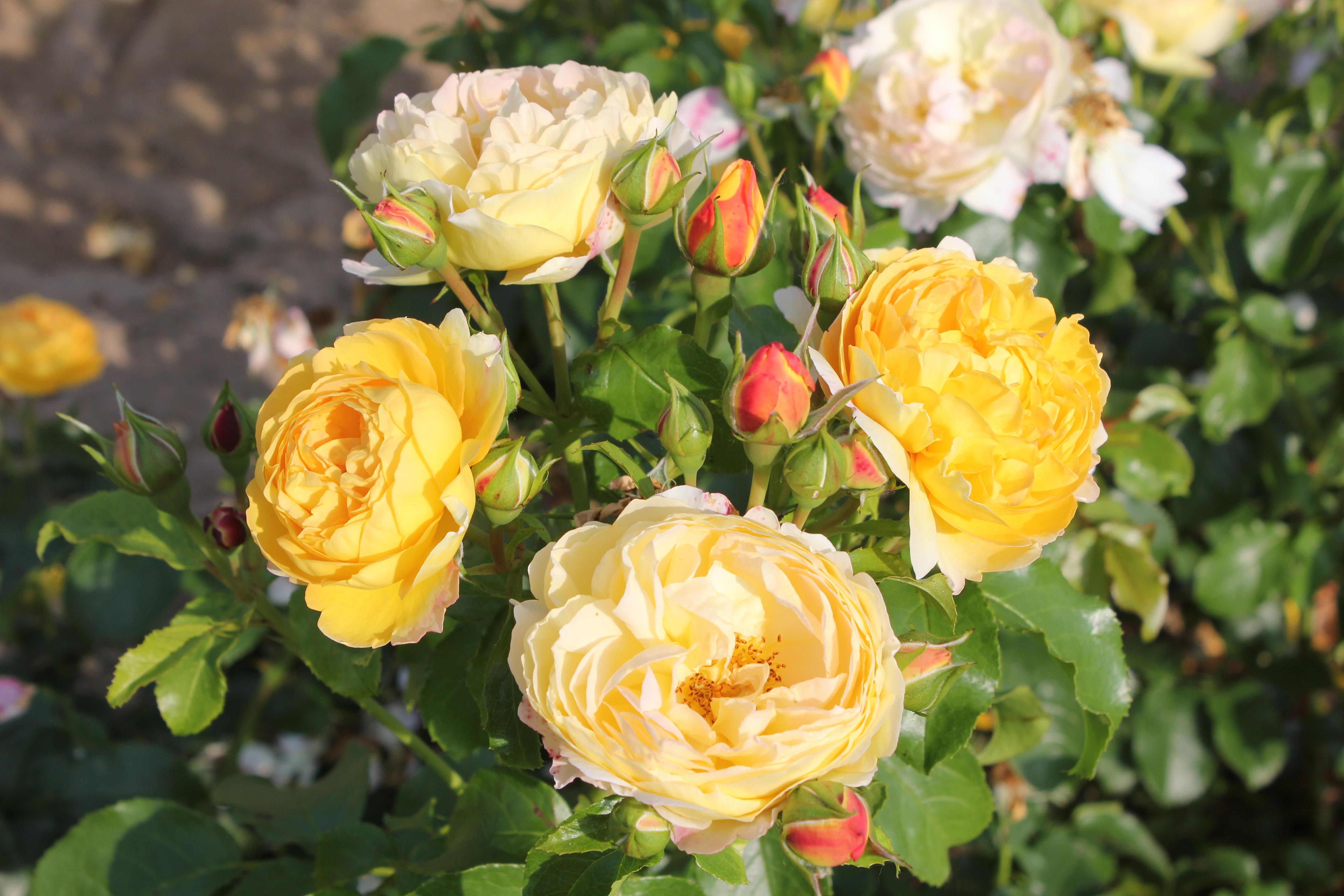 Faire Un Rosier Avec Une Rose grand prix de la rose archives - société nationale d
