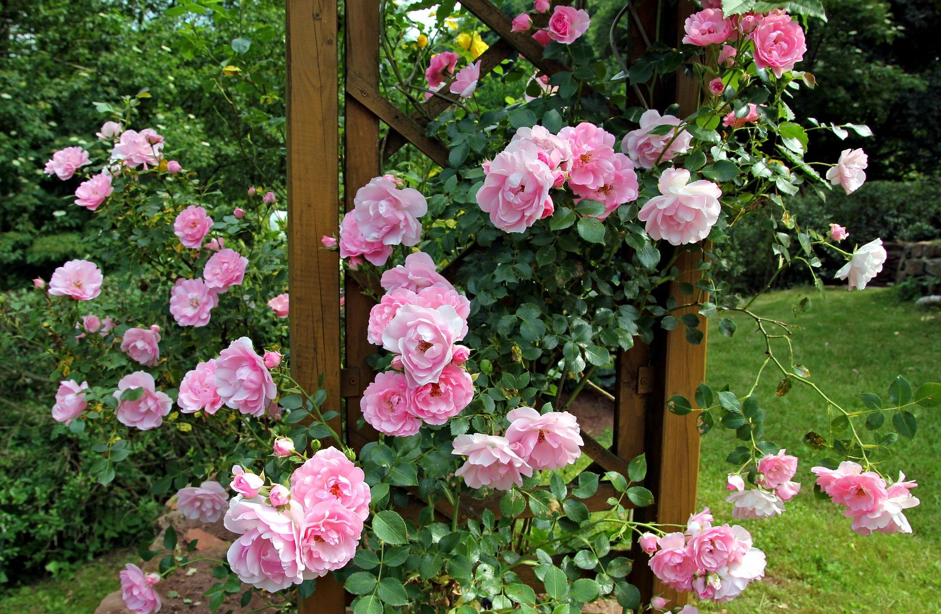 Couper Les Rosiers En Octobre taillons nos rosiers - société nationale d'horticulture de