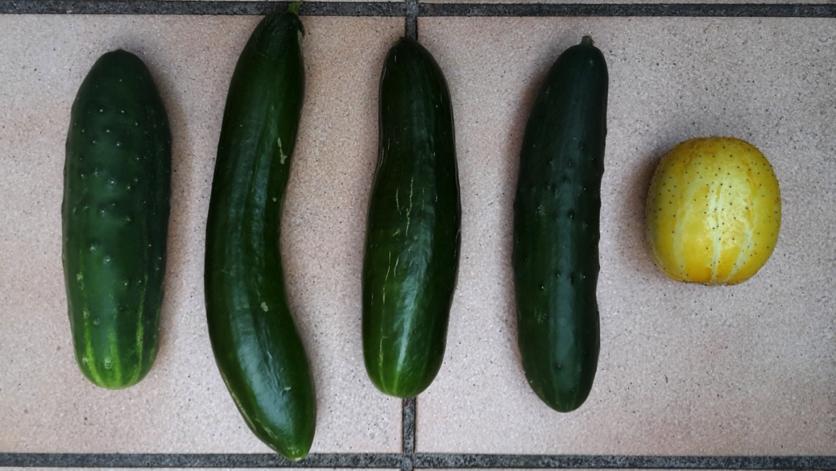 Section potager essais concombres comparaison de 5 for Concombre gynial