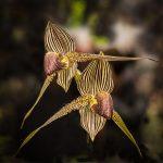 Paphiopedilum rothschildianum ©Mr Jean-Claude Le Hir